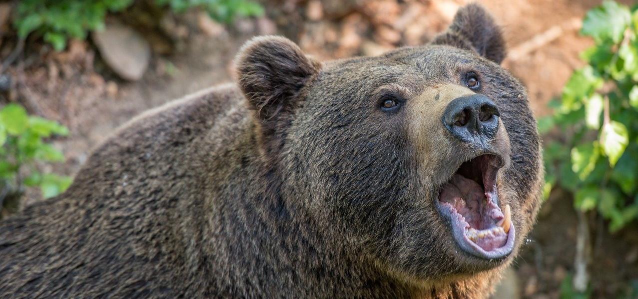 Wie verhalten beim Bär